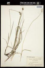 Carex abbreviata image