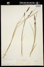 Image of Carex acutina