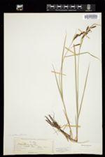 Carex acutina image