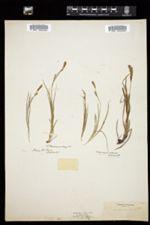 Image of Carex alveata