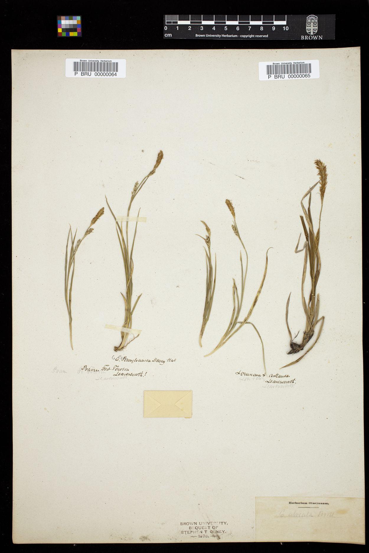 Carex alveata image