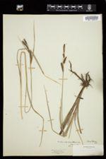 Carex aperta image