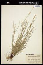 Image of Carex assiniboinensis