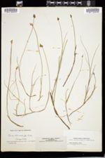 Carex chordorrhiza image