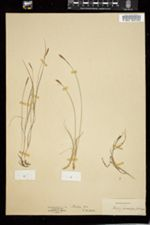 Image of Carex anthoxanthea