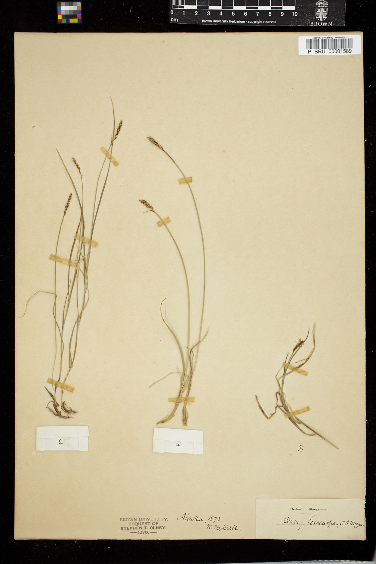 Carex anthoxanthea image