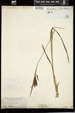 Carex mertensii image