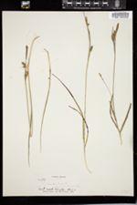Carex panicea image