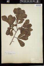Quercus aquatica image