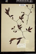 Image of Laurus geniculata