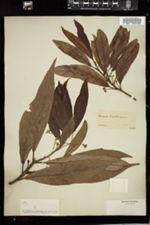 Image of Laurus carolinensis