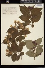 Diervilla japonica image