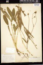 Scabiosa australis image