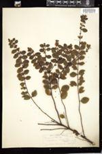 Symphoricarpos vulgaris image