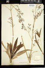 Valeriana edulis var. ciliata image
