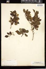 Image of Crataegus arborescens