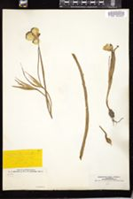 Image of Calochortus lilacinus