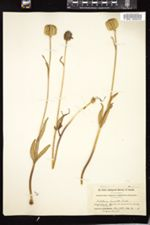 Fritillaria affinis image