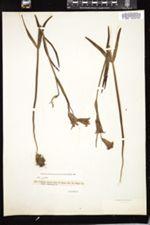 Fritillaria recurva image