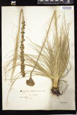 Xerophyllum asphodeloides image