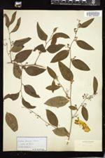 Smilax pseudochina image
