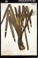 Hymenocallis crassifolia image