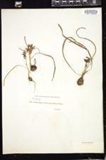 Brodiaea coronaria image