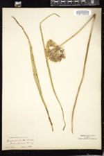 Triteleia hyacinthina image