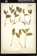 Maianthemum bifolium image