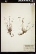 Image of Bulbostylis ciliatifolia