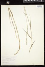 Image of Amphicarpum floridanum