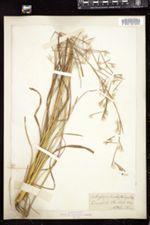 Andropogon brachystachyus image