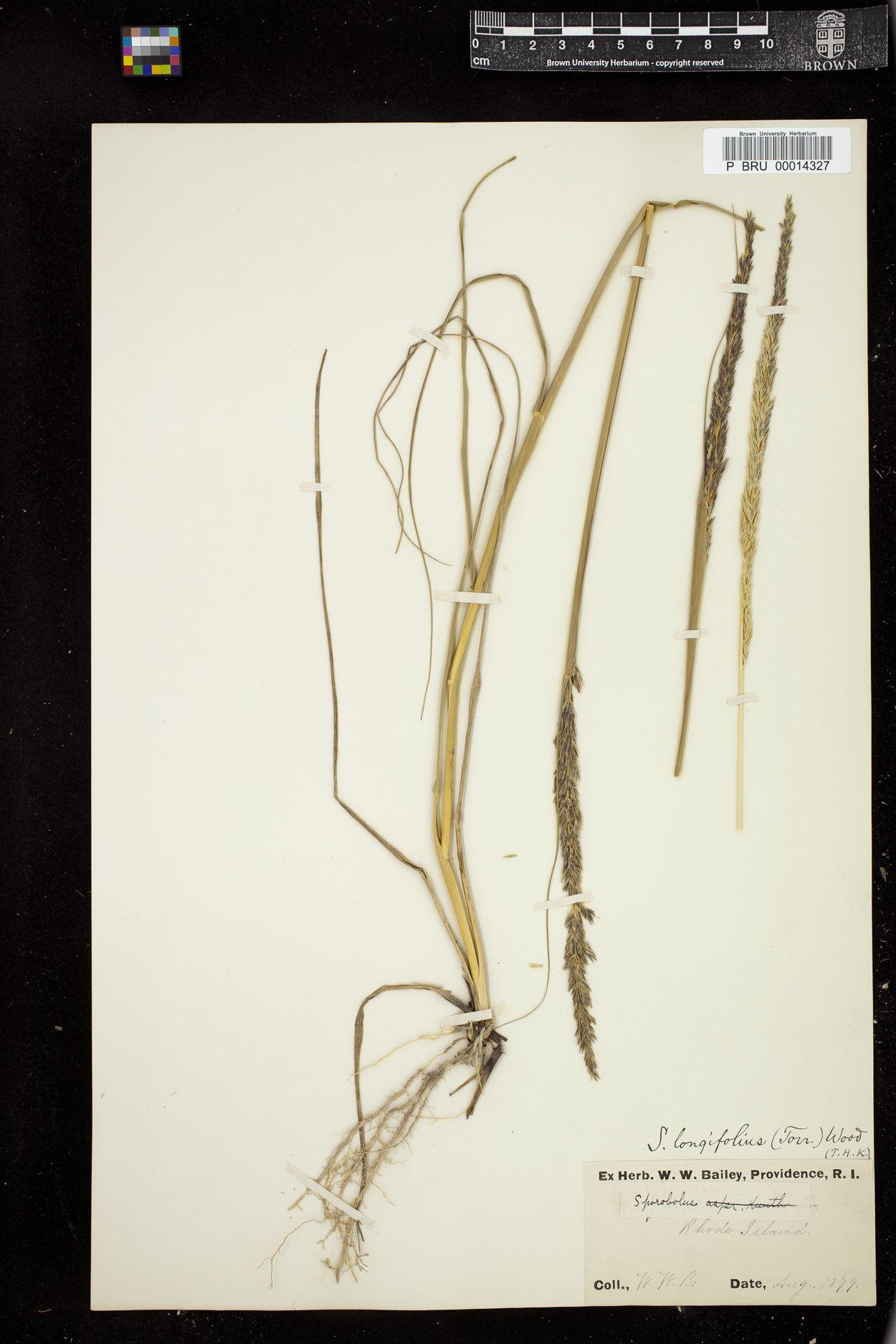 Sporobolus longifolius image