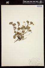 Viola canina image
