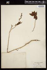Image of Aruncus vulgaris