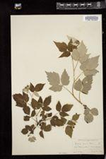Rubus occidentalis image