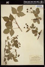 Rubus procumbens image