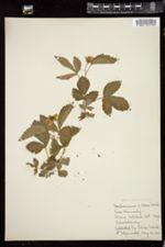 Rubus villosus image
