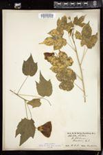 Abutilon striatum image