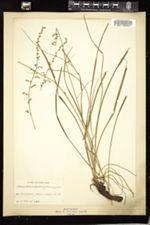 Image of Stenanthium angustifolium