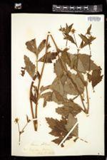 Geum album image
