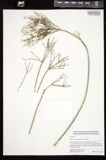 Rhipsalis teres image