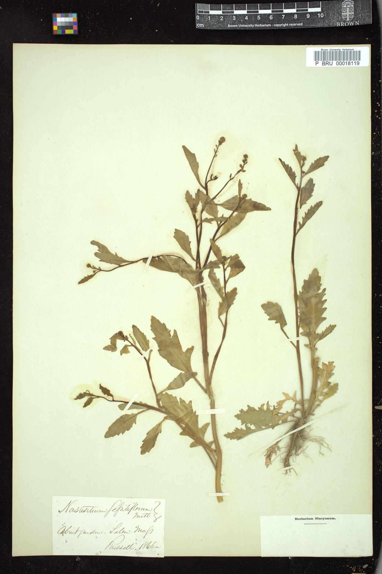 Nasturtium sessiliflorum image