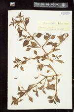 Image of Alternanthera pulchella