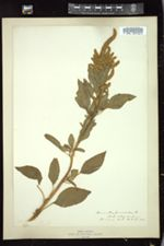 Amaranthus cruentus image