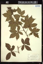 Rubus ascendens image