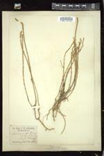 Image of Salicornia fruticosa