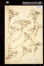Image of Anychia dichotoma