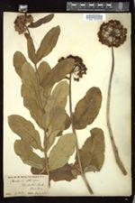 Image of Asclepias consanguinea