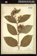 Asclepias phytolaccoides image